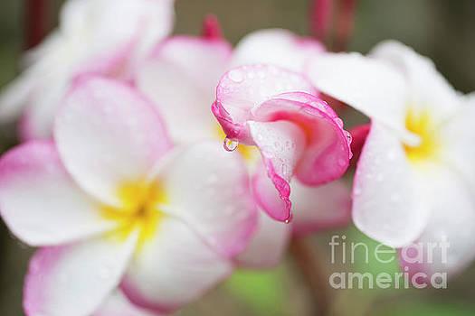 Unfolding Plumeria Blossom by Charmian Vistaunet