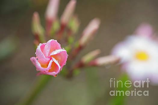 Unfolding Plumeria Flower by Charmian Vistaunet