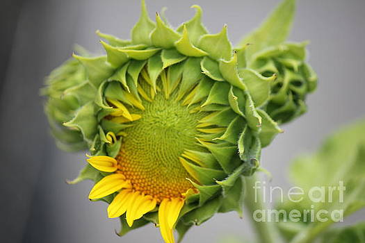 Unfolding Sunflower by Sheri LaBarr