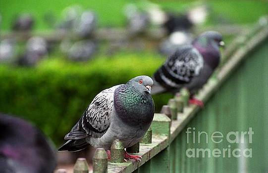 Union Square Pigeons by James B Toy