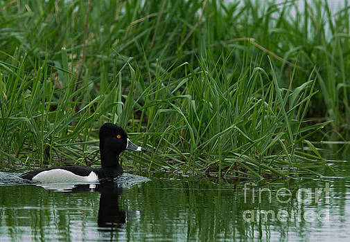 Ring-necked Duck by Natural Focal Point Photography