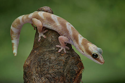 Up and Over - Velvet Gecko by Nikolyn McDonald