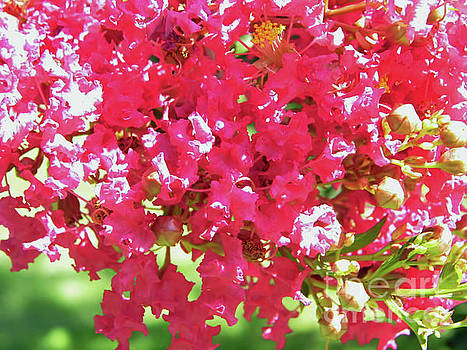 Up Close Crepe Myrtle Blossoms by D Hackett