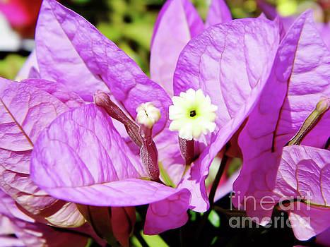 Up Close Purple Bougainvillea by D Hackett