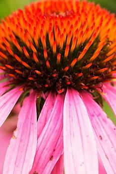 Up Close Purple Cone Flower by Amanda Kiplinger