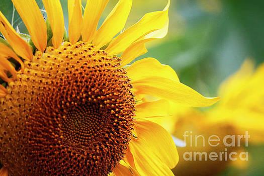 Up Close Sunflower by Debbie Parker