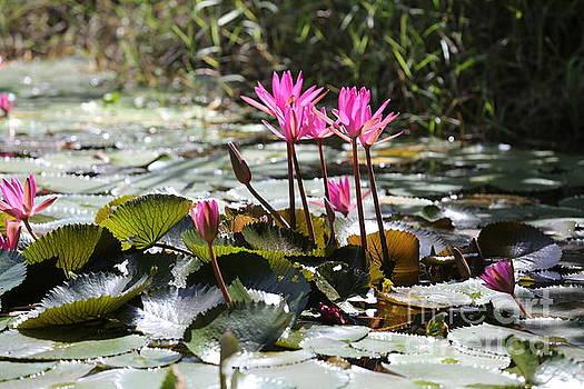 Chuck Kuhn - Up Close Water Lilies