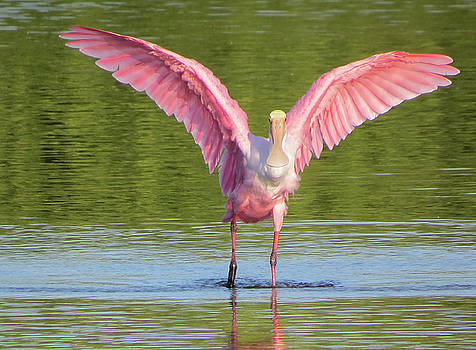 Up, Up and Away Sanibel Spoonbill by Melinda Saminski