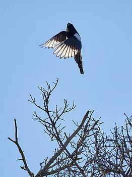 Up up up. Eurasian magpie by Jouko Lehto