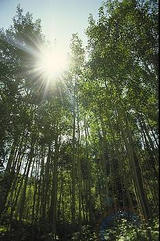 Upshot Of Sunlight Through Tall Trees by Gillham Studios