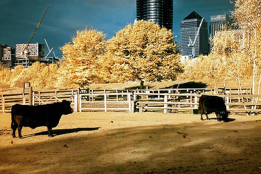 Urban cows by Helga Novelli
