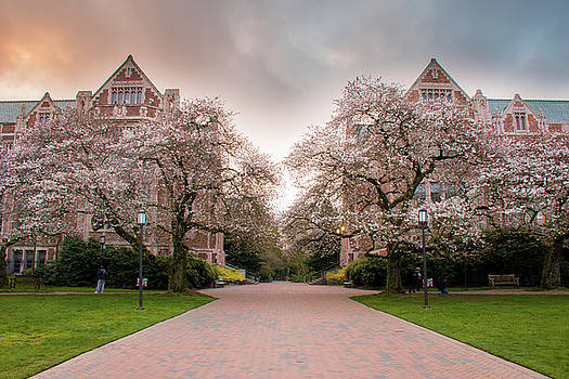 UW Cherry Blossoms At Sunrise by Matt McDonald