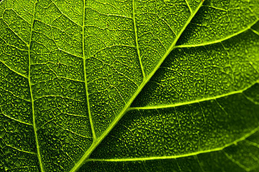 Vain Leaf by Sarita Rampersad