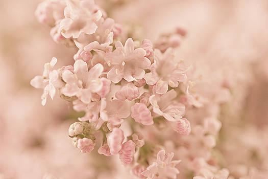 Sandra Foster - Valarian Blossoms Macro