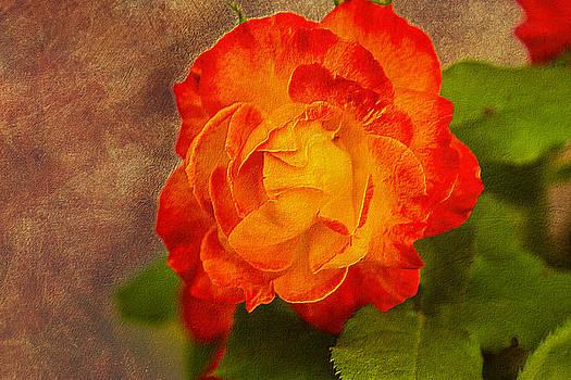 Barry Jones - Variegated Beauty - Rose Floral