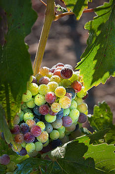 Variegated Cluster of Grapes by Kent Sorensen