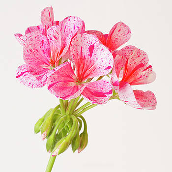 Variegated Pink Geranium  by Sandra Foster