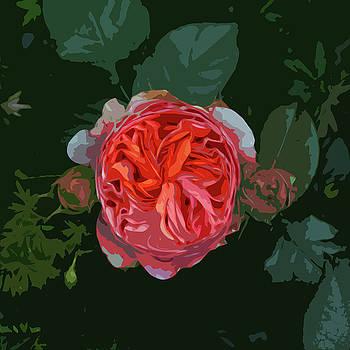 James Hill - Variegated Rose