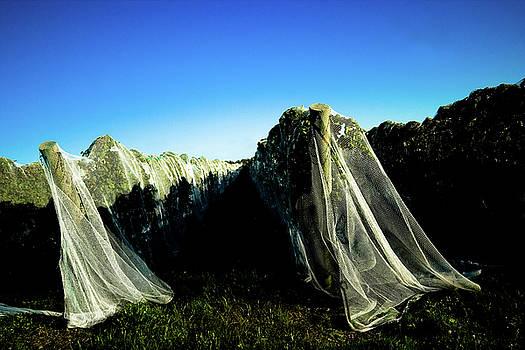 Veiled Beauty by Susan Schumann