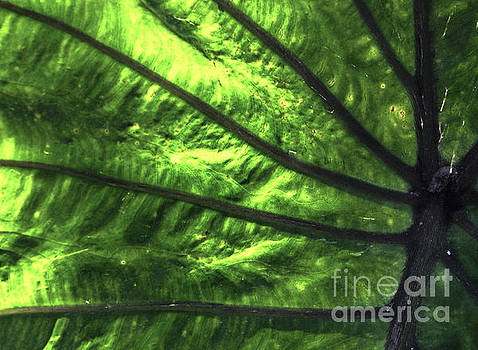 Veins Of An Elephant Leaf by Photo Captures by Jeffery