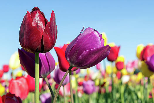 Velvet Red and Purple Tulip Flowers Closeup by David Gn