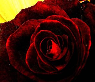 Velvet Rose by Daniele Smith