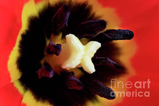Velvet Tulip by Tracy Hall