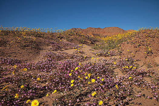 Verbena and Desert Gold by Susan Rovira