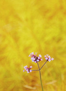 Verbena by Garden Gate