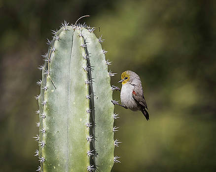 Verdin bird-IMG_276718 by Rosemary Woods-Desert Rose Images