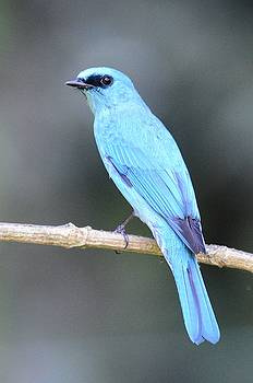 Vereditor Flycatcher by Balram Panikkaserry