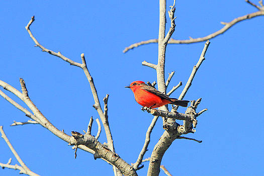 Vermilion Flycatcher 2 by Shoal Hollingsworth