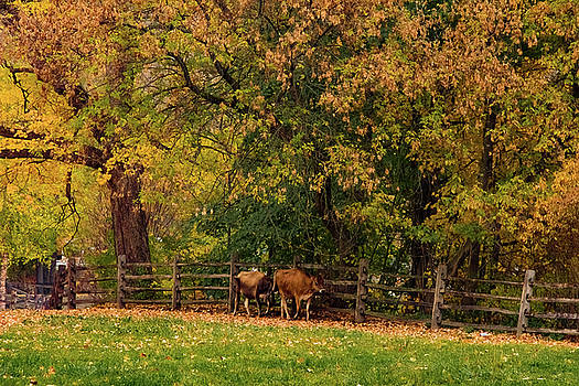 Vermont cows walk the line in fall foliage by Jeff Folger