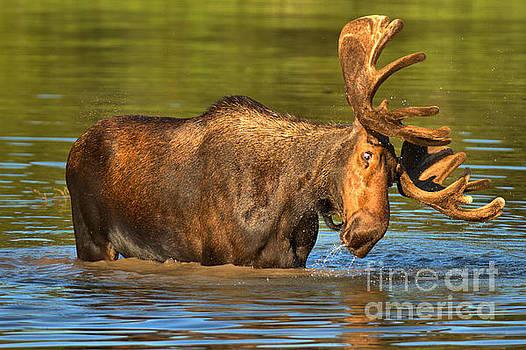 Vertigo Moose by Adam Jewell