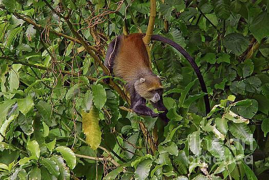 Robert Abramson - Vervet Monkey, Tanzania
