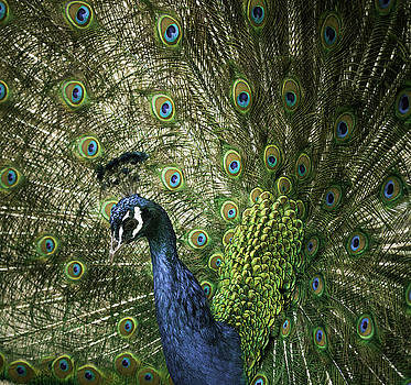 Vibrant Peacock by Jason Moynihan