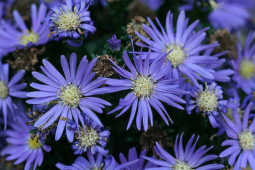 Vibrant Purple Aster Flowers at Different Stages by Bonnie Boden