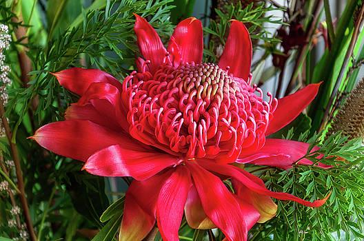 Vibrant Wild Waratah Flower by Daniela Constantinescu