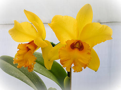 Dora Miller - Vibrant Yellow