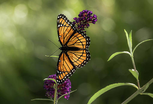 Viceroy Butterfly by Chris Burke