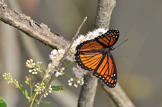 Viceroy Butterfly by Gerald Hiam