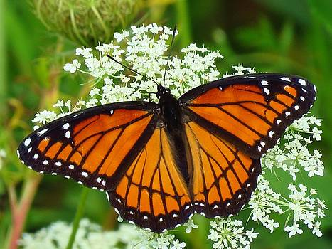 Viceroy Butterfly by Lori Frisch