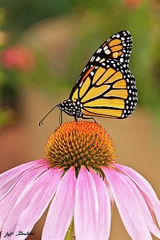 Monarch Butterfly on a Purple Coneflower by Jeff Goulden