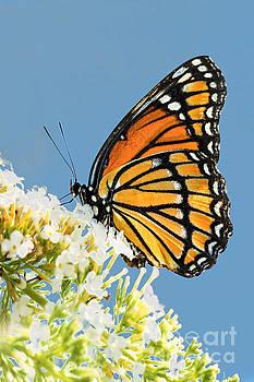 Regina Geoghan - Viceroy Butterfly