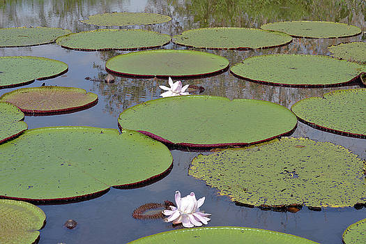 Harvey Barrison - Victoria Amazonica Water Lily Study Number Four