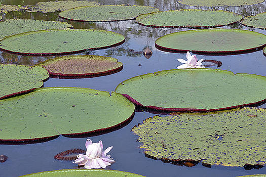 Harvey Barrison - Victoria Amazonica Water Lily Study Number Two