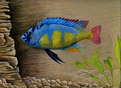 Victoria Cichlid by Rebecca Wang