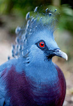 Victoria Crowned Pigeon by Manuel Lopez