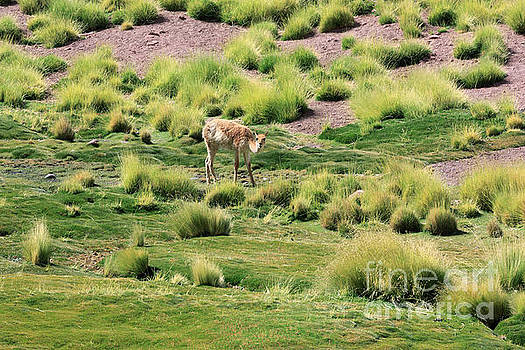 Vicuna grazing in a river valley in the Atacama Desert Chile by Louise Heusinkveld