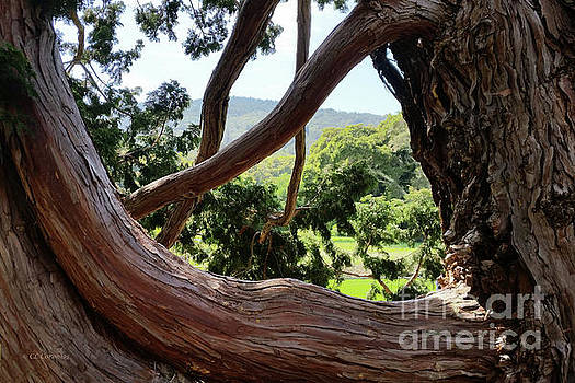 View through the Tree by Carol Lynn Coronios